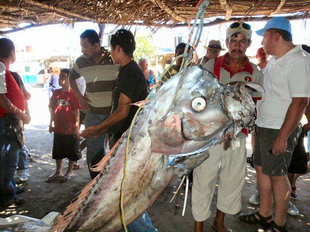 the slender oarfish were  Oar Fish Mouth